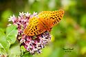 Fritillary Argynnis spp? - Speyeria aphrodite