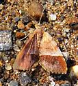 Orange Wing moth - Mellilla xanthometata