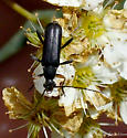 beetle - Grammoptera subargentata