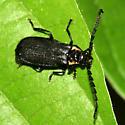 Firefly mimic - Polemius laticornis