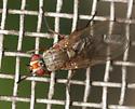root-maggot fly - Eutrichota - female