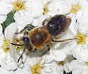 Another Andrena? - Colletes thoracicus