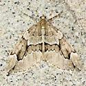 Juniper Carpet - Hodges#7217 - Thera juniperata