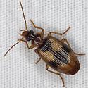 Beetle IMG_0853 - Lebia fuscata