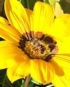 Fly on Flower - Halifax Canada - Eristalis tenax