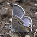 One of several little Blues - Euphilotes