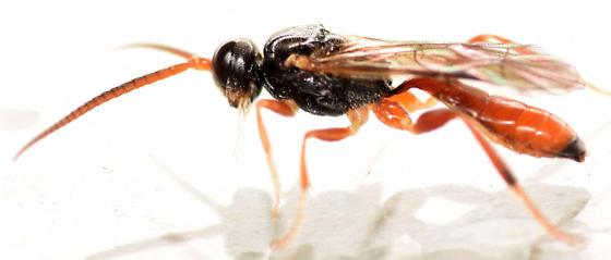 ichneumon waps - Glyphicnemis mandibularis - male
