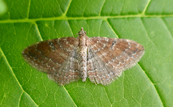 Geometridae, The Gem - Orthonama obstipata