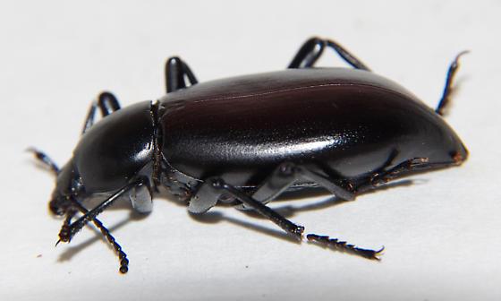 Eleodes longicollis - male