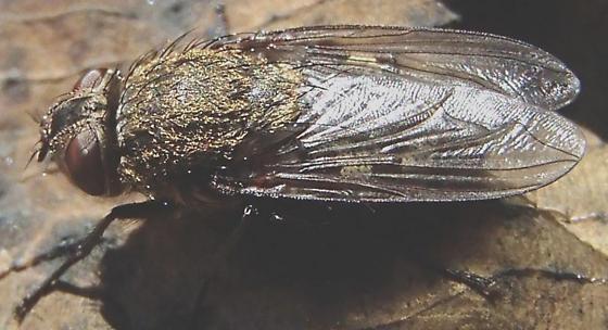 Fly. - Pollenia rudis - female