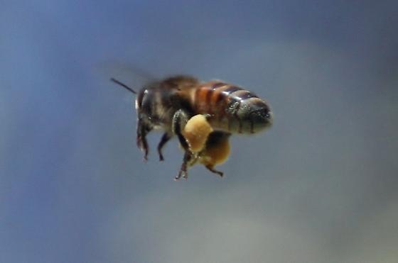 Honey bee spp? - Apis mellifera