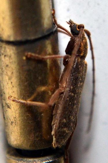 Long-horned beetle? - Anelaphus villosus