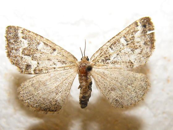 Caripeta divisata - female