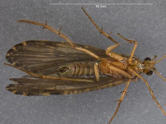 June Caddis - Rhyacophila grandis - male