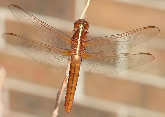 Female neon skimmer? - Libellula croceipennis - female