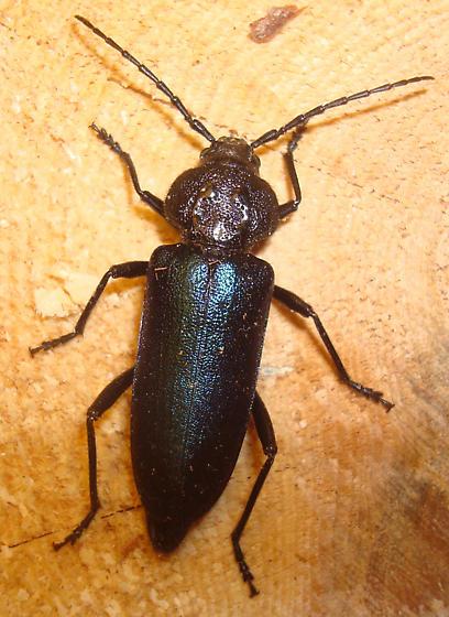 Semanotus amethystinus (LeConte) - Semanotus amethystinus - female