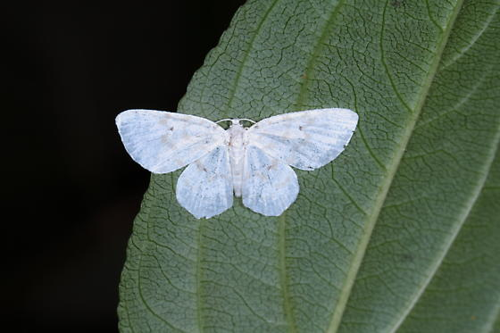 White moth - Hydrelia albifera