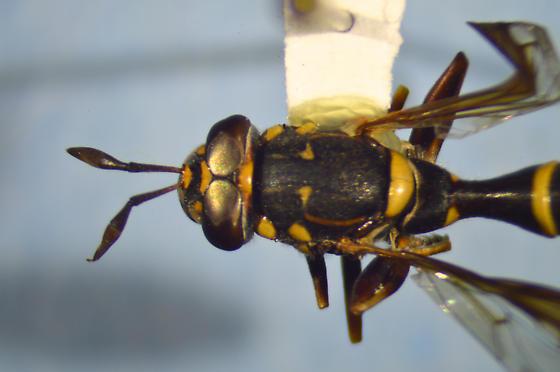 Syrphid - Sphiximorpha willistoni - male