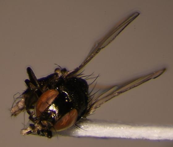Small diptera - female