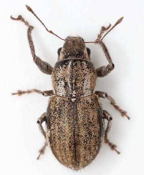 weevil - Naupactus peregrinus