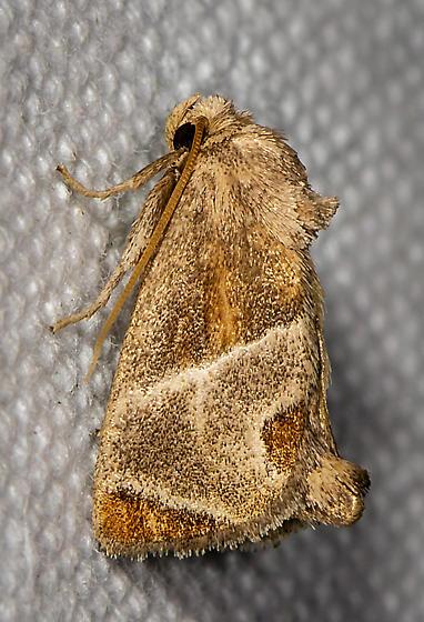 Shagreened Slug Moth 4669 - Apoda biguttata
