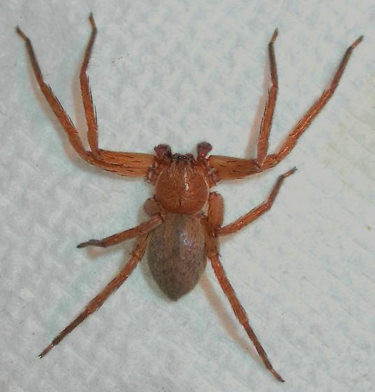 Pseudosparanthis cubana - Decaphora cubana - male