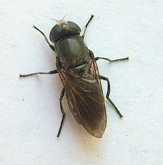 Unknown Fly - Cheilosia