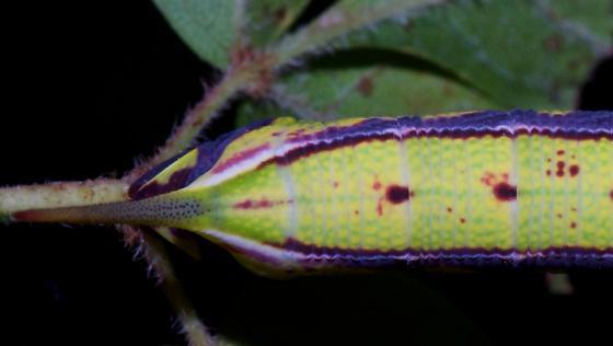 Caterpillar found on Pepper vine (Ampelopsis arborea)