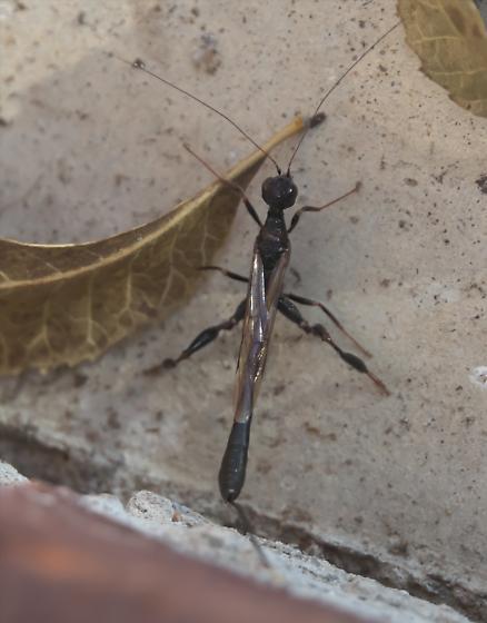 Black ichneumon with long tail - Megischus bicolor - female