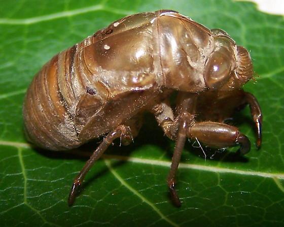 Neotibicen latifasciatus
