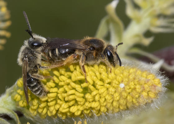 Subgenus Scrapteropsis in NB (Andrena cf imitatrix) - Andrena - male - female