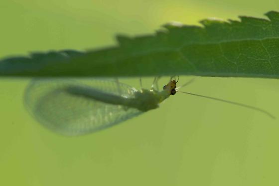 Chrysopidae - Green Lacewing - Chrysopa
