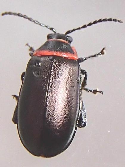 Flea Beetle  Kuschelina vians? - Kuschelina vians