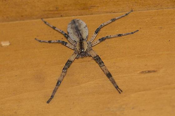 Wolf Spider sp? - Pisaurina mira