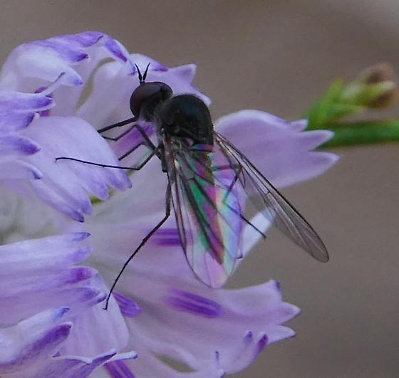 Fly - Geron - male