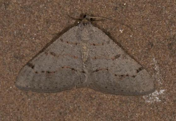Backyard Moth - Digrammia yavapai