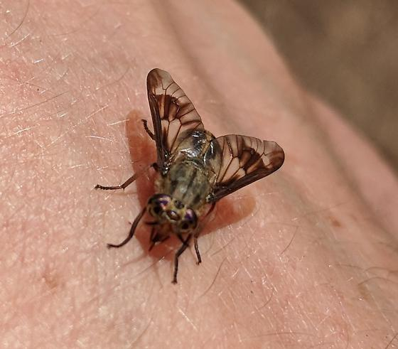 Mystery Horsefly - Chrysops coloradensis - female