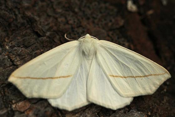 White Slant-line, Tetracis cachexiata - Tetracis cachexiata