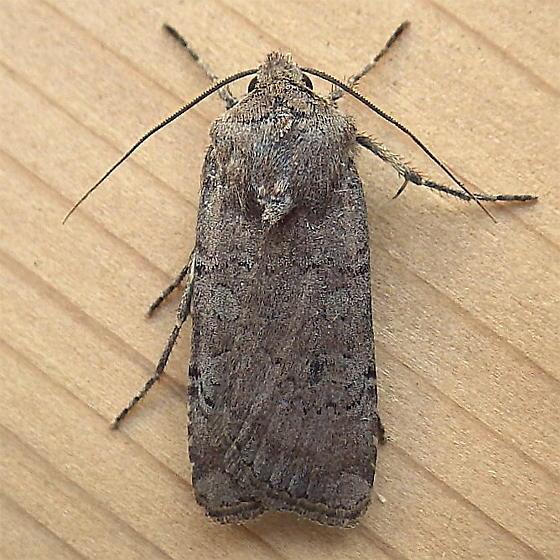 Noctuidae: Euxoa? - Euxoa infausta
