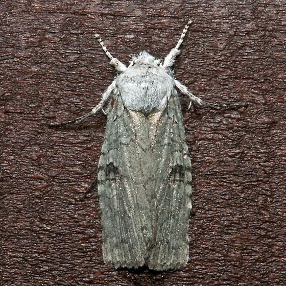 Pale Green Pinion Moth - Lithophane viridipallens