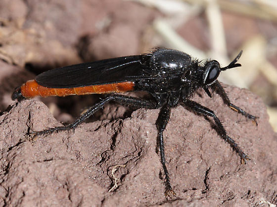 red abdomen robber fly - Ospriocerus aeacus - male