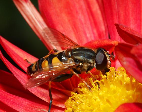 unidentified Syrphidae - Helophilus fasciatus - male