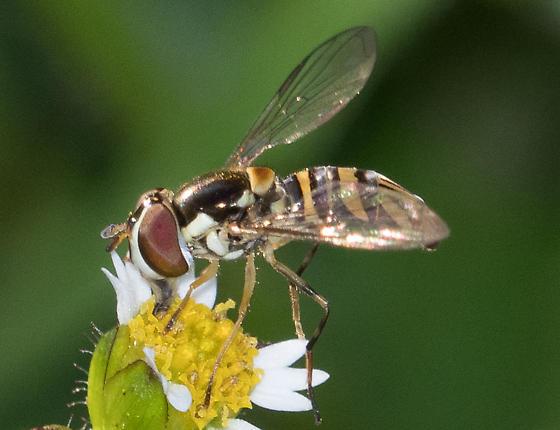 flower fly – Allograpta obliqua? - Allograpta obliqua - female