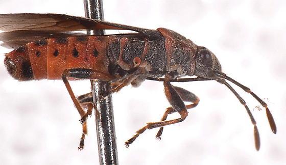 Arocatus melanocephalus (Elm seed bug)?  - Arocatus melanocephalus