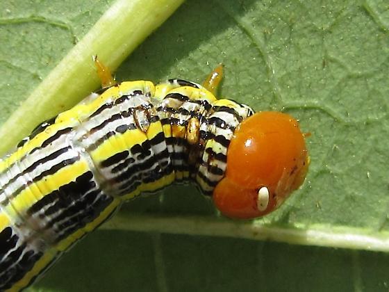Parasite on Symmerista canicosta - Symmerista canicosta