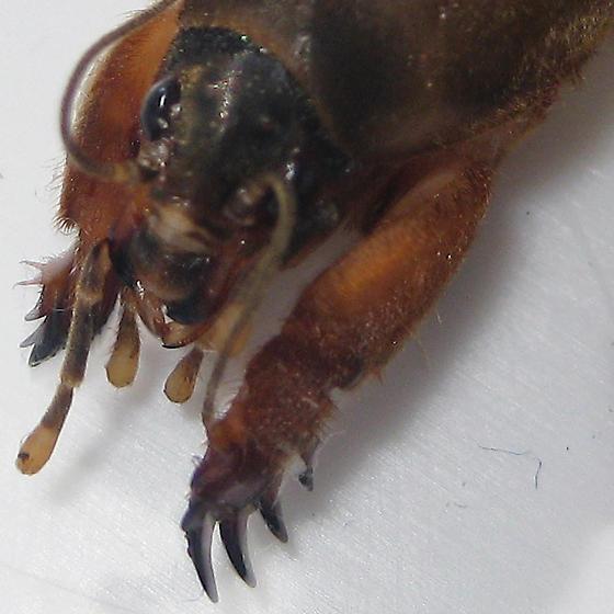 Northern Mole Cricket - Neocurtilla hexadactyla - female