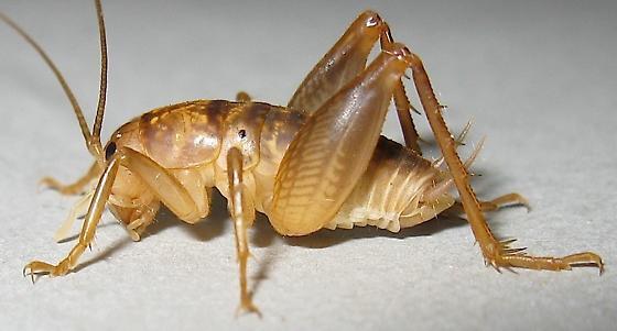 Camel Cricket - Ceuthophilus inyo - male