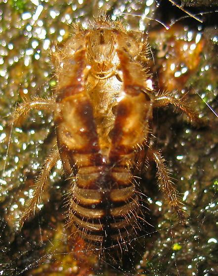 Cicada husk on oak tree - Platypedia