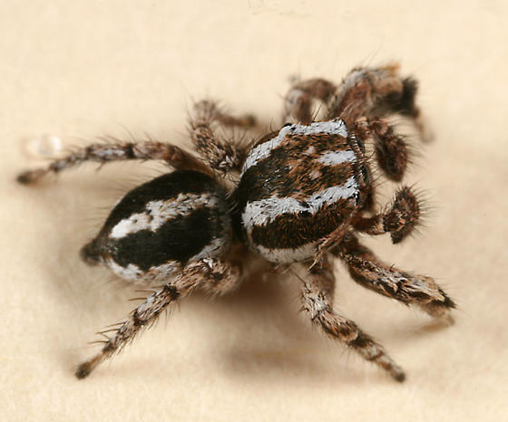 black and white jumping spider - Habronattus agilis - male