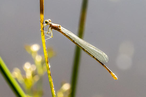 Species of this damselfly, please